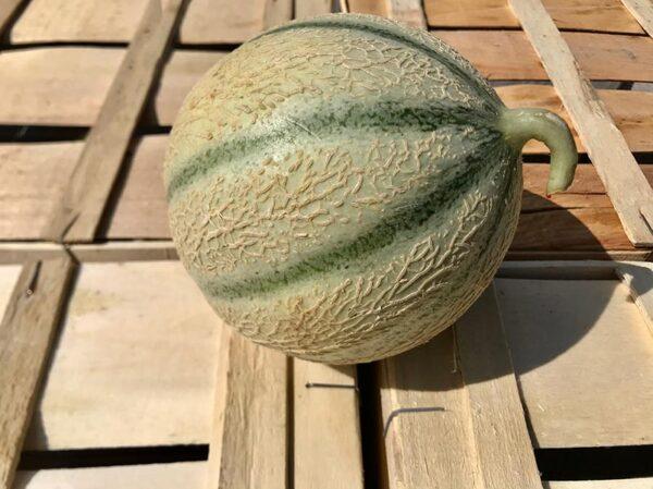 Melon-gustatif