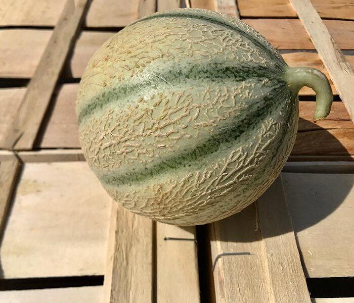 Melon gustatif – la piece